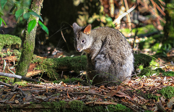 Wildside Tours Pademelon